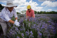 Moldova's lavender harvest is smaller this year due to drought